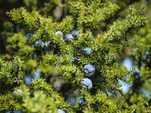 Juniperus Drupacea - Khaled taleb
