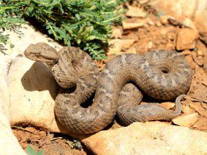 Lebanon mountain viper (Montivipera bornmuelleri) - Rami Khashab