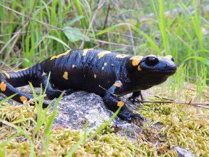 Near Eastern fire Salamander - Rami Khashab