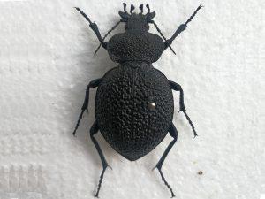 Procerus Syriacus phoeniceus