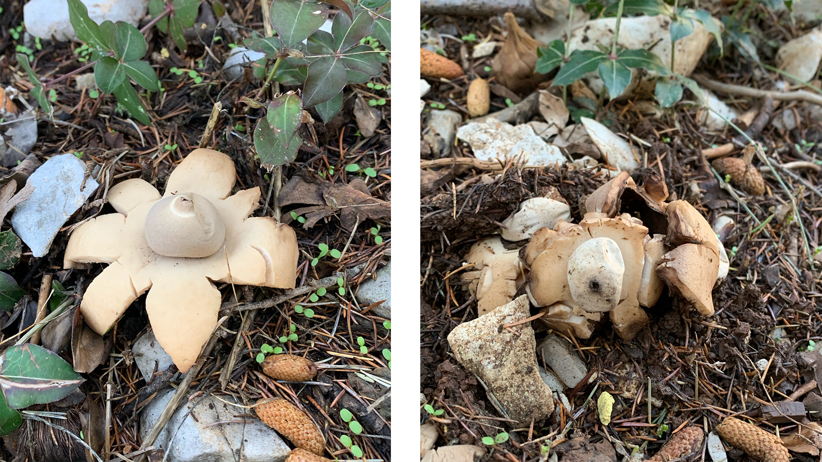 Left: A mature undamaged specimen of Geastrum triplex, Right: a damaged specimen that does not show anymore the morphological traits of the species enabling its identification. (Aïn Zhalta Cedar Forest, Nov. 2020. © Rana El Zein)