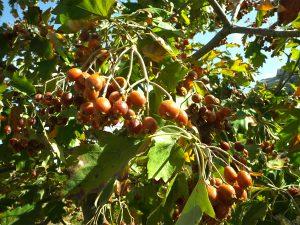 Sorbus torminalis fruits and leaves in Jaj