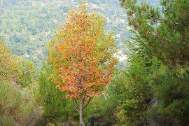 Sorbus torminalis tree cover