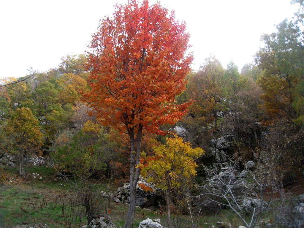 Sorbus torminalis in autumn in Ehmej