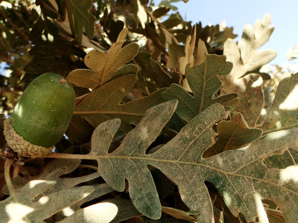 Kotschy Oak fruits and leaves in Jabal el Fouar