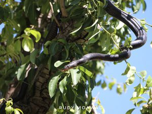 Large whip snake (Dolichophis Jugularis)