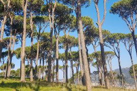 Managed pine forest above Hasbaya el Matn