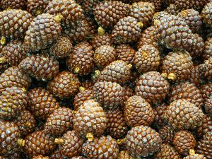 Pine cones in Qssaybe