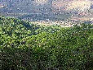Pine forest of Deir Machmoucheh