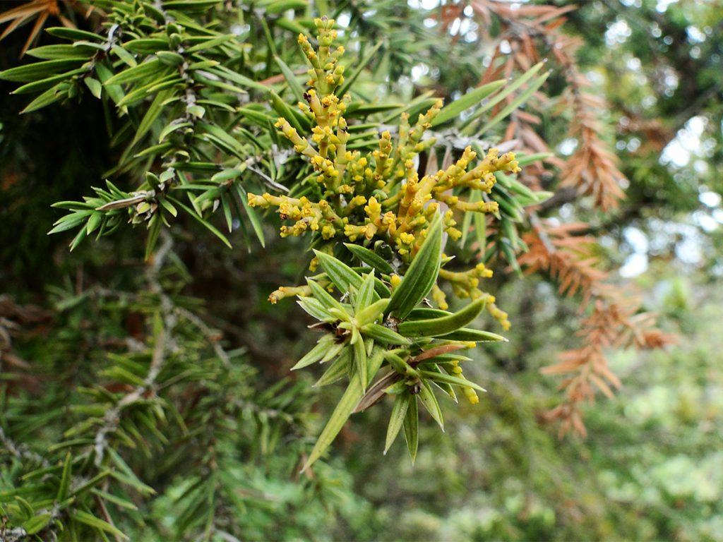 Dwarf mistletoe parasiting a branch of Juniper