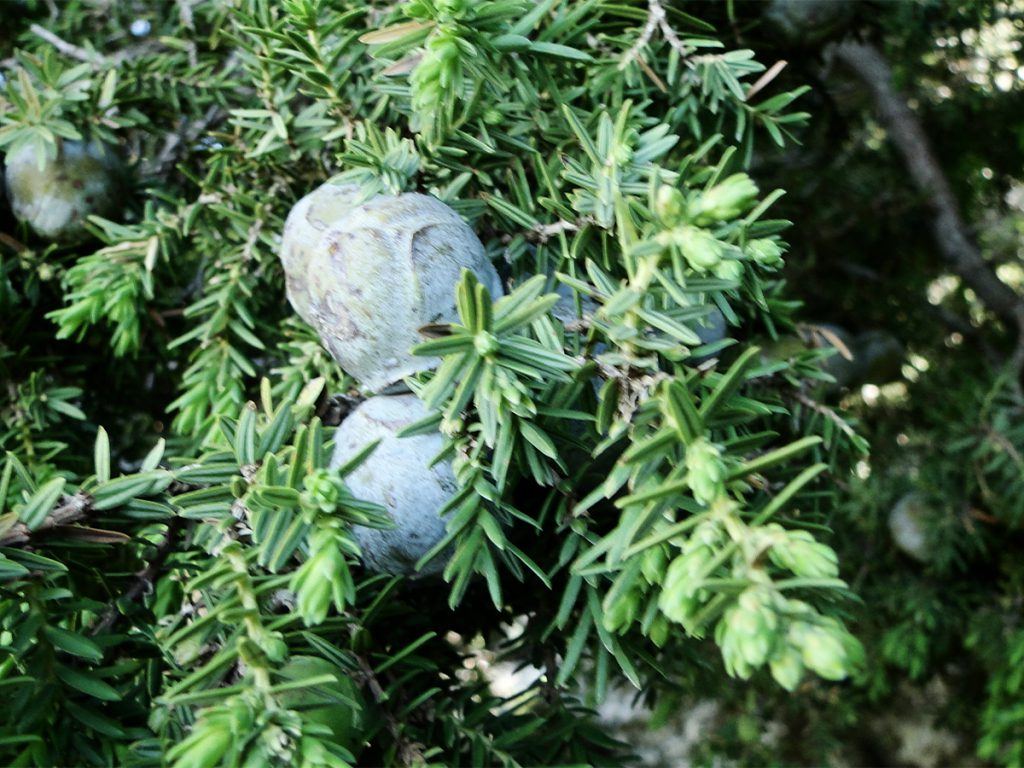 Juniperus Drupacea fruits and leaves in Chahtoul