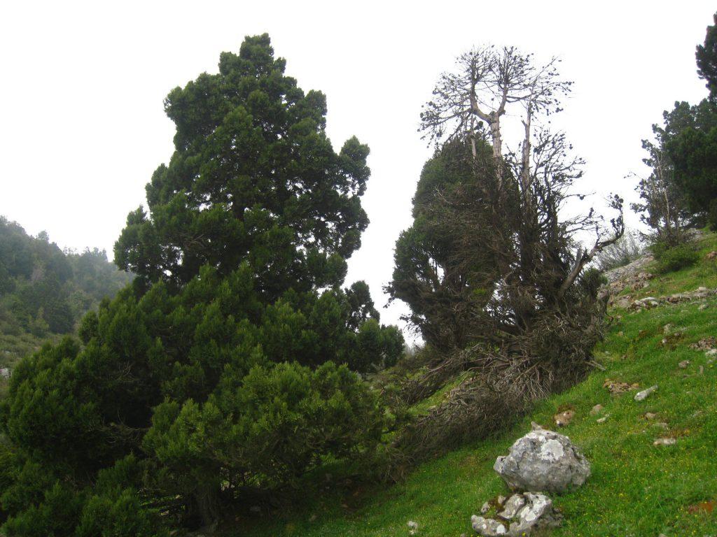 J Drupacea near a dead Juniper in Qmamine